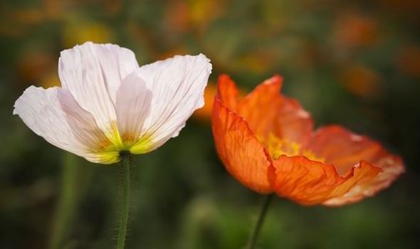 Arable Flowers Like Poppies Are On Their Way Out John Ingham