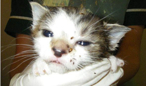 Cat Covered In Fleas