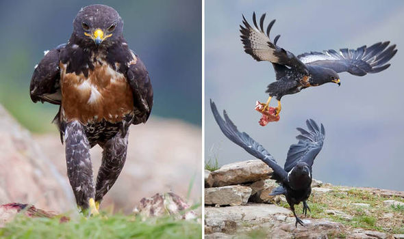 jackal buzzard caught marching towards its dinner nature news