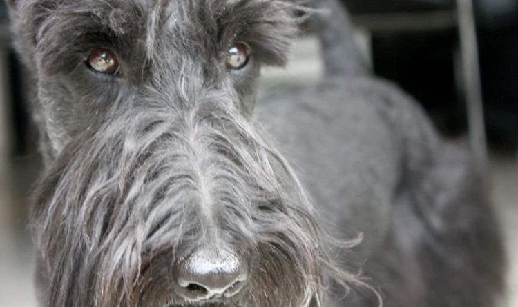 Scottie Dog Facing Extinction Fears For Scottish Terrier As