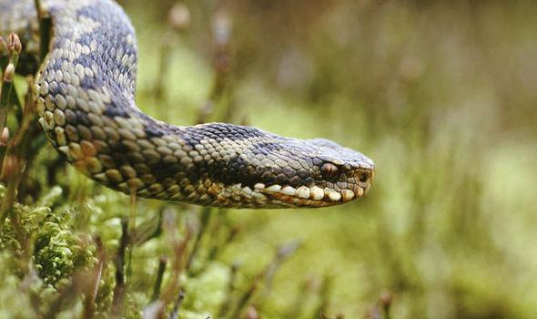 Champion dog dies after snake attack in garden | UK | News | Express ...