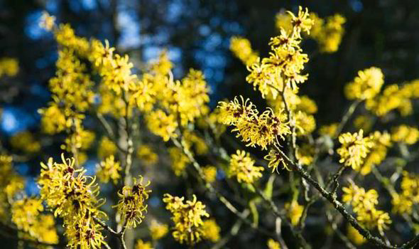 Alan titchmarsh on growing witch hazel in your garden express alan titchmarsh shares his top gardening tips for growing witch hazel mightylinksfo