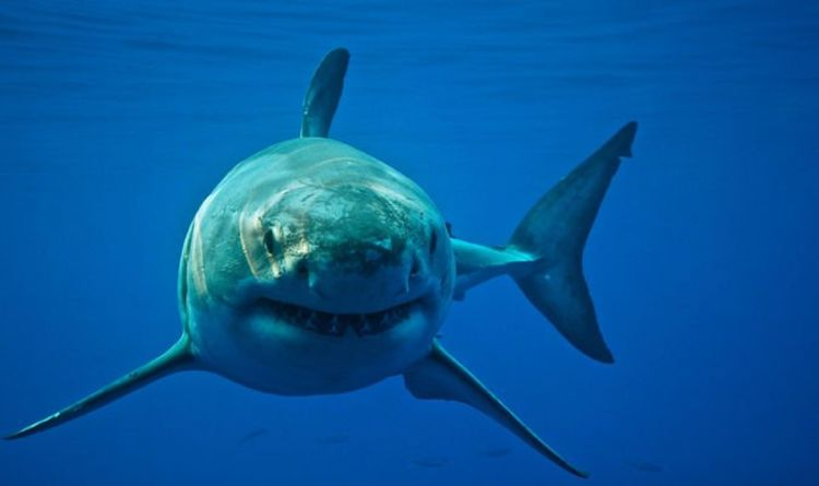 Shark 'BIGGER than Megalodon' lurking in California waters sparks