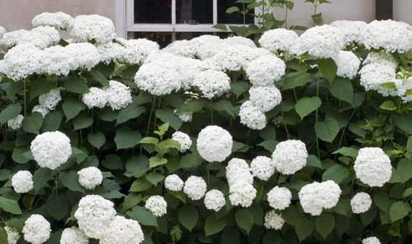 Hydrangeas Great For Summer Flowers Autumn Tints And Winter Seed