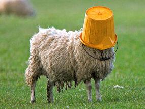 bet he s feeling sheepish weird news express co uk