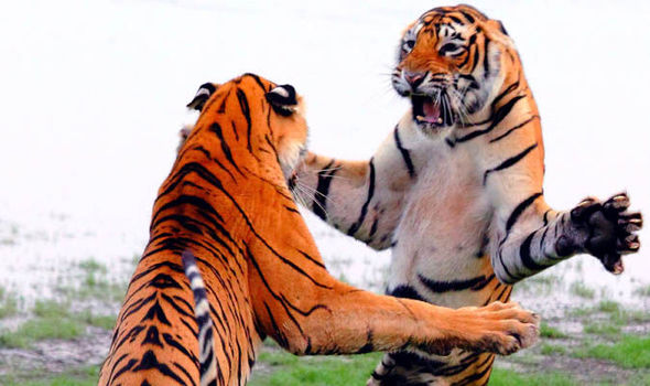 pictures tigers caught performing their best dance moves for the
