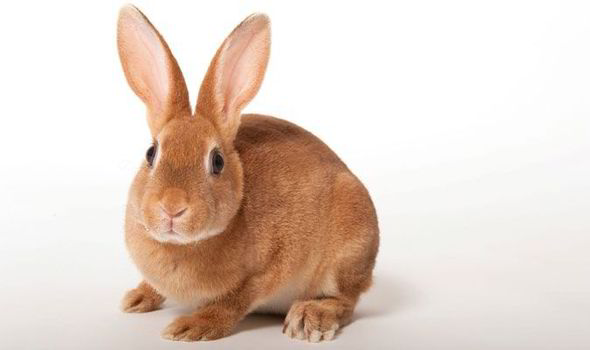 Sneezing And Snoring In Rabbits Usually Indicates An Infection Called 039 Snuffles